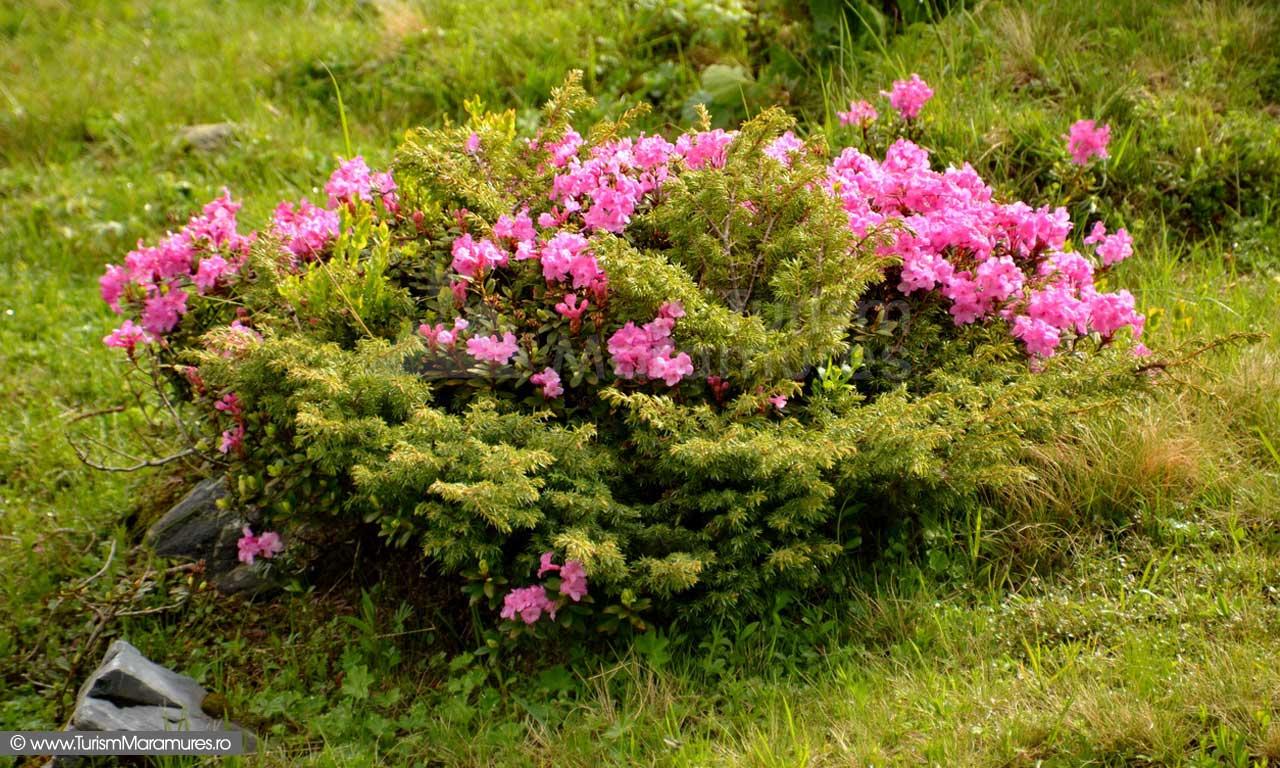 16_Rododendron-si-ienupar
