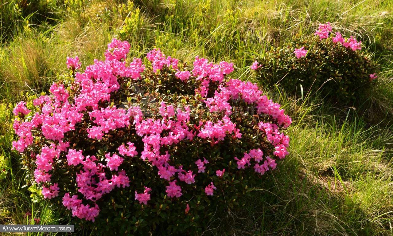 30_Rododendron_Smardan