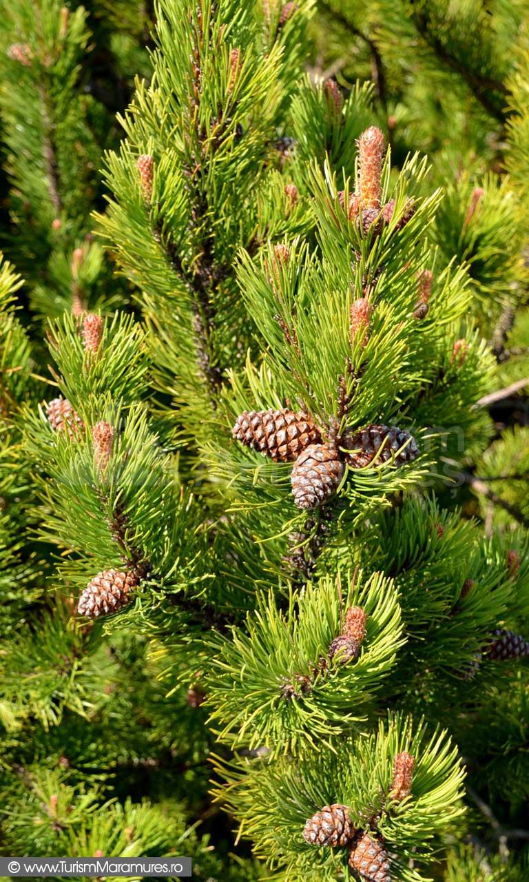 50_Pinus-mugo_jneapan