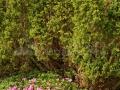15_Ienupar-si-Rhododendron-kotschyi