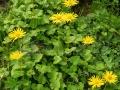 21_Cujda_Doronicum-carpaticum