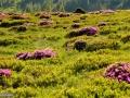 27_Rododendron-Muntii-Rodnei