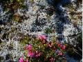 45_Rhododendron-myrtifolium