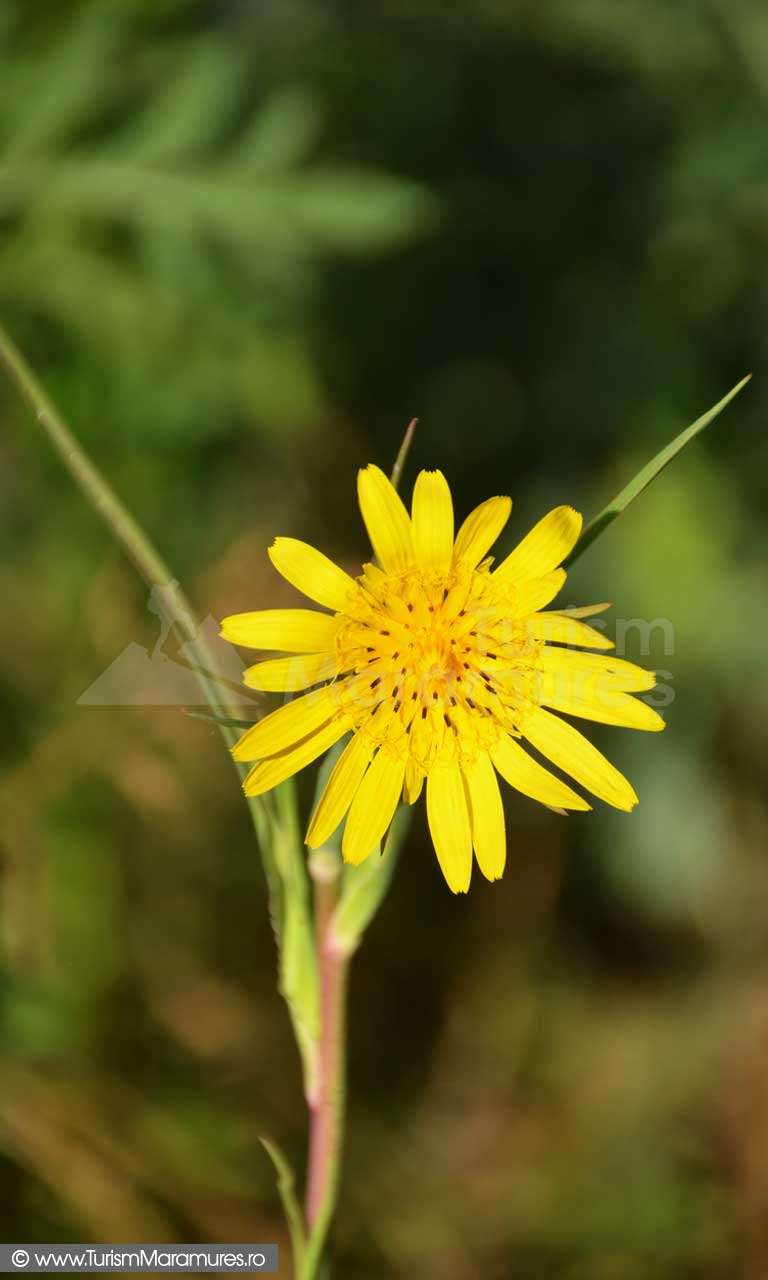 23_Barba-caprei_Tragopogon-sp