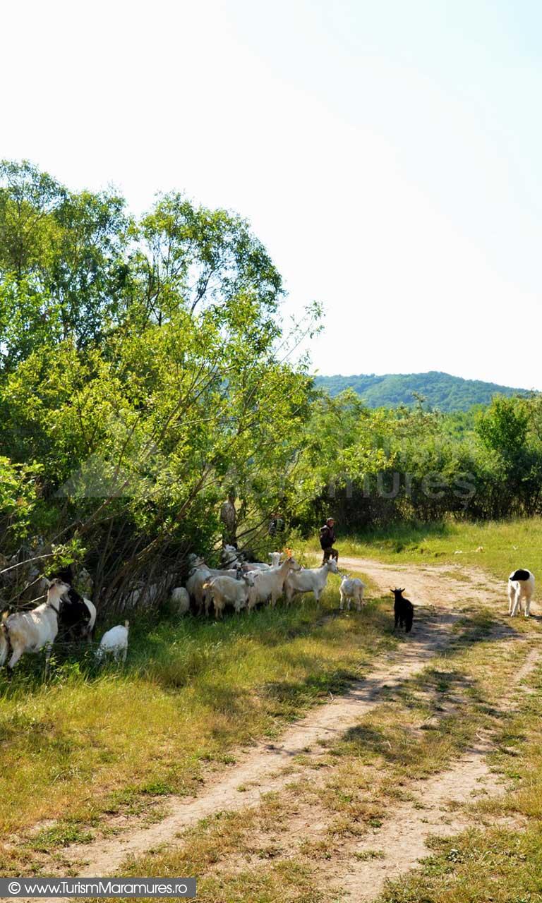 48_Brusturi-Corboaia-capre-la-pasune
