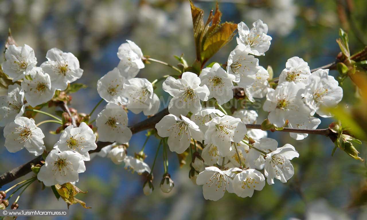 Flori-cires