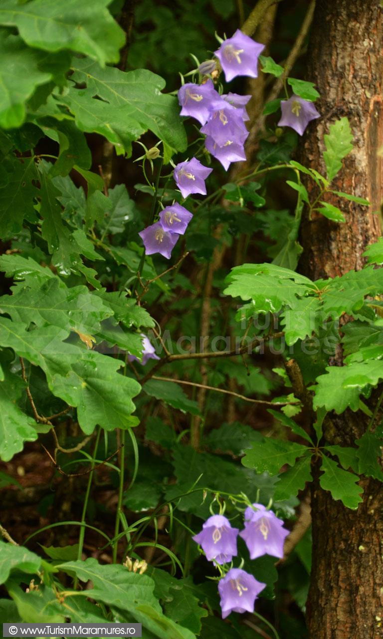 0026_Campanula-persicifolia