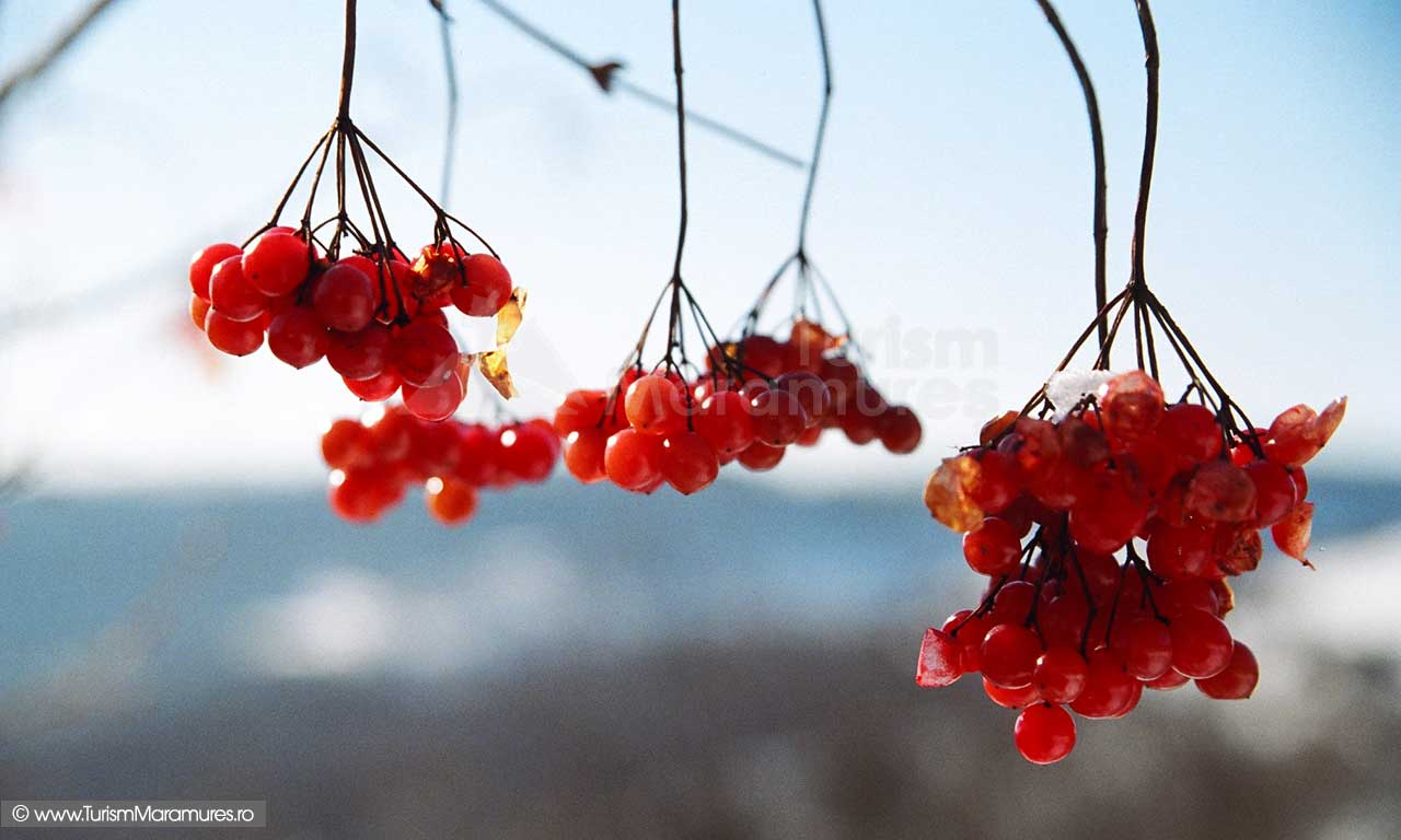 Rubinele-iernii