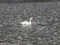 22-Lebada-lacul-Firiza