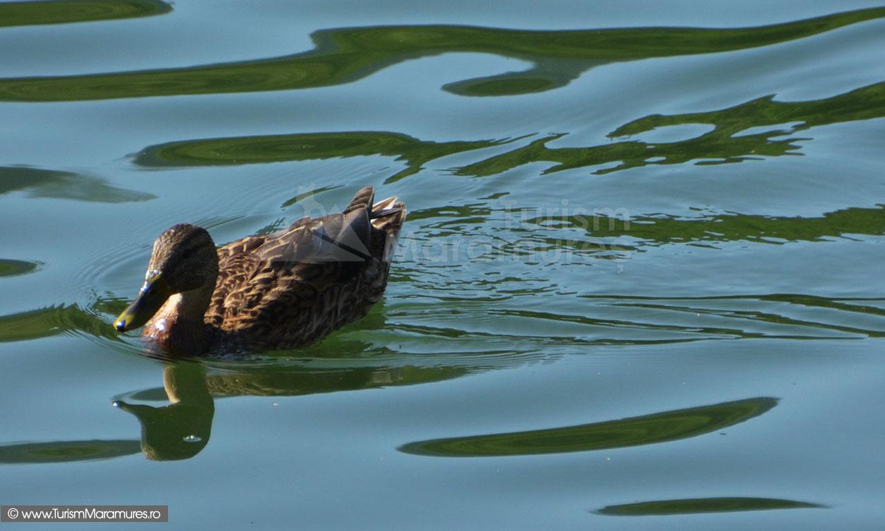 17_Rata-salbatica-pe-Lacul-Mogosa