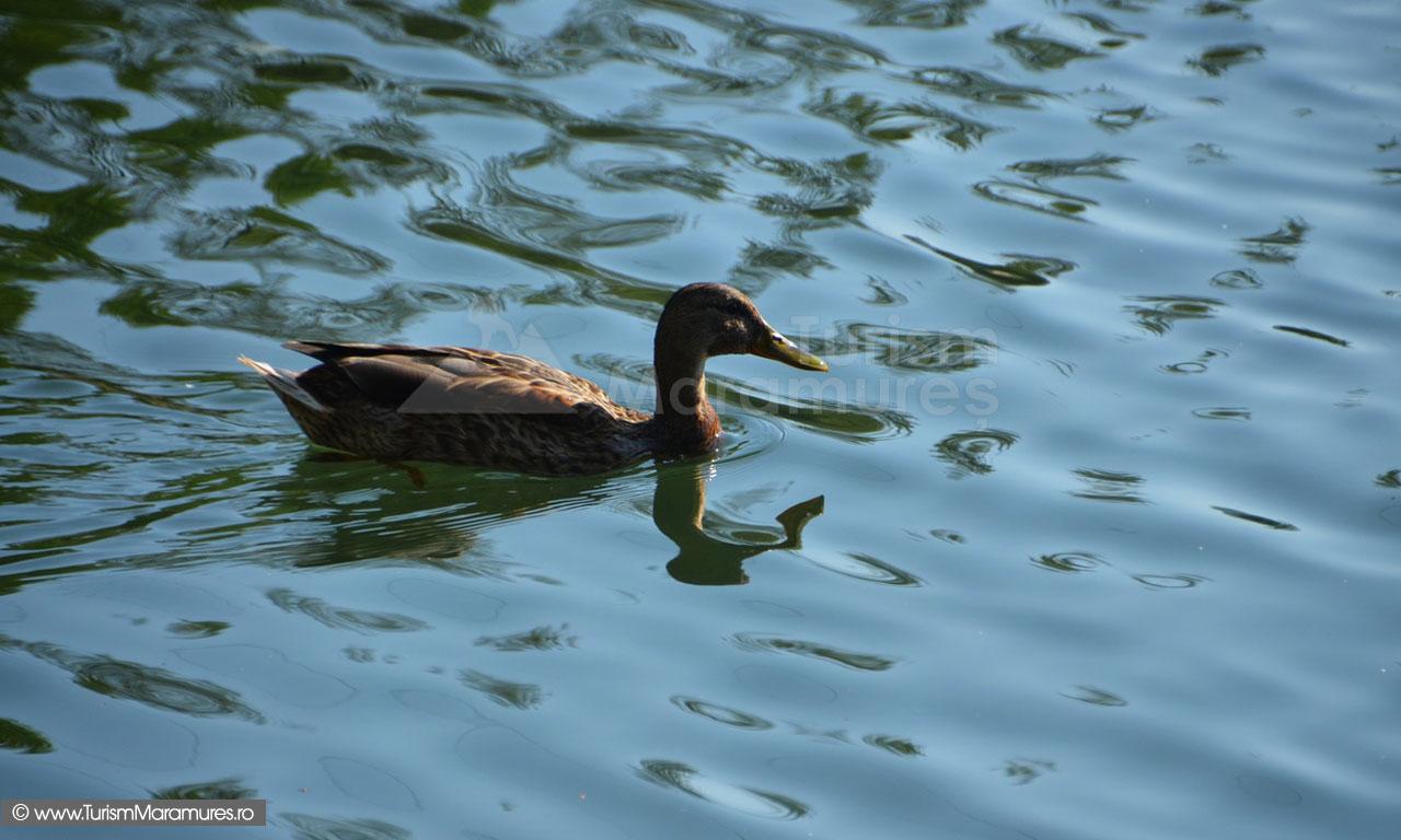 20_Rata-salbatica-pe-Lacul-Mogosa