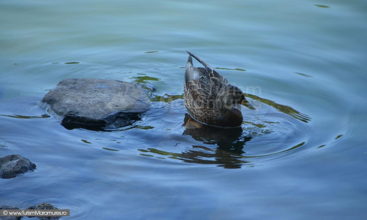 39_Rata-salbatica-pe-Lacul-Mogosa