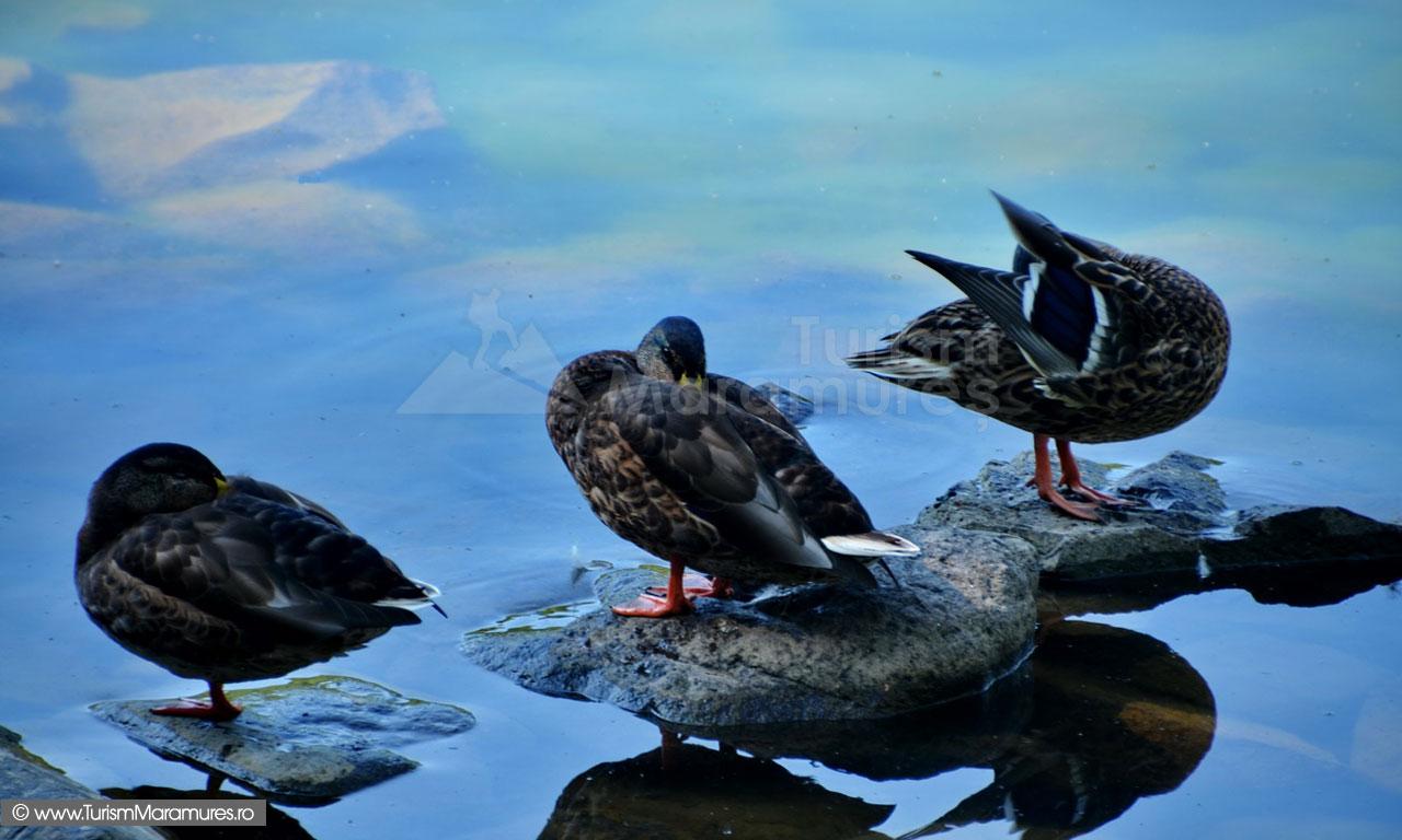 42_Rate-salbatice-pe-Lacul-Mogosa