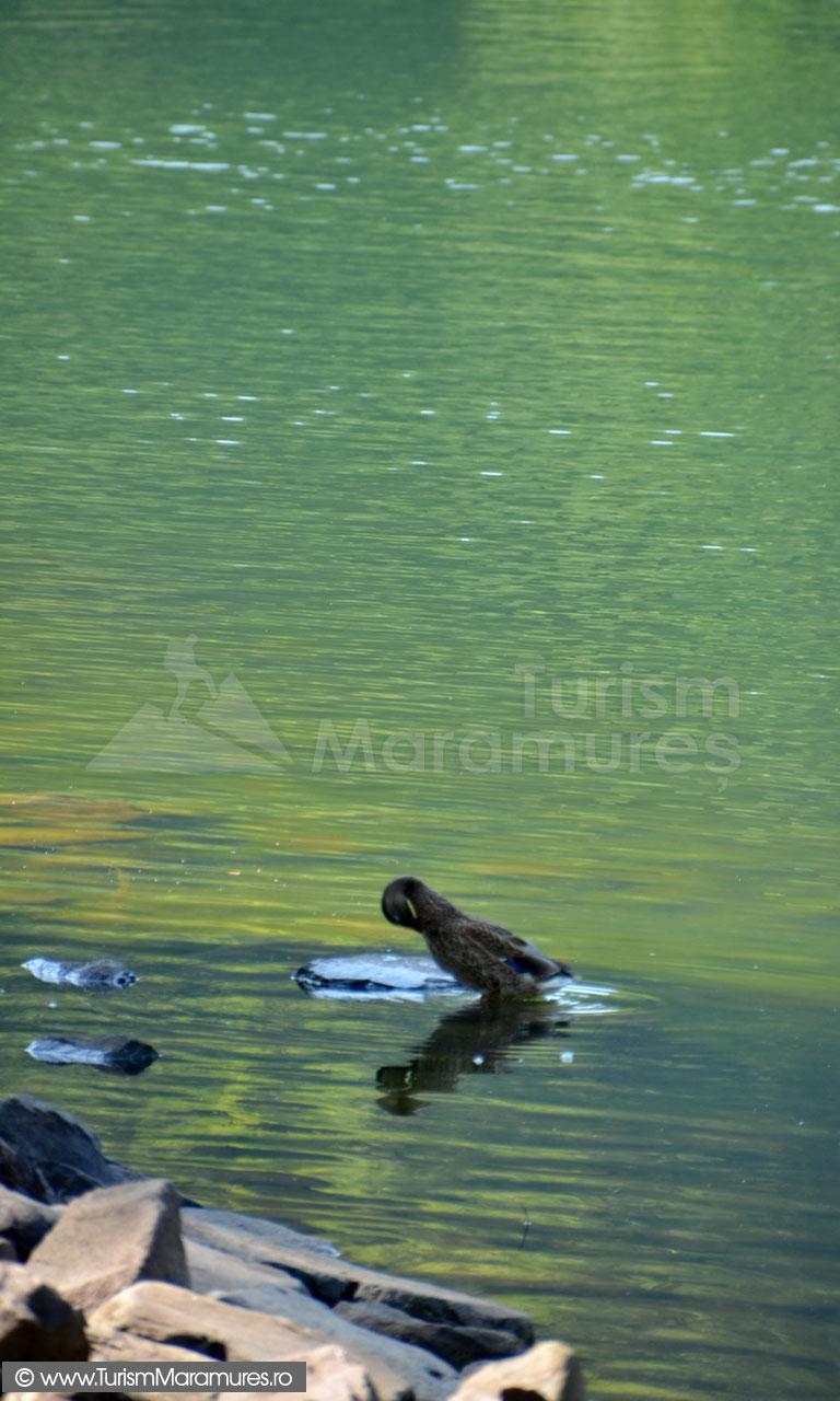 43_Rata-salbatica-pe-Lacul-Mogosa