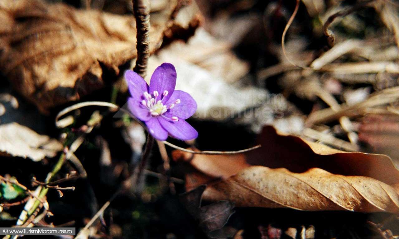 Albastrea Hepatica nobilis