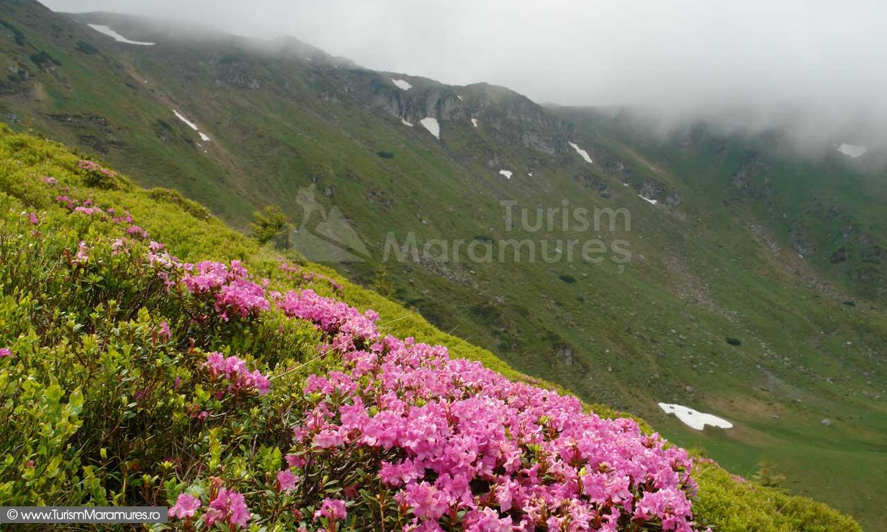 Bujori de munte pe Muntele Cailor