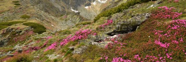 Munții Rodnei: La rododendron, din Borșa Pietroasa pe Piatra Albă – Corhele Pietrosului și Pietrosu Rodnei cu retur pe la Tăul Iezer