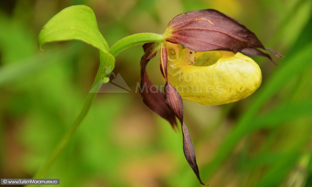 Cypripedium calceolus - Papucul doamnei