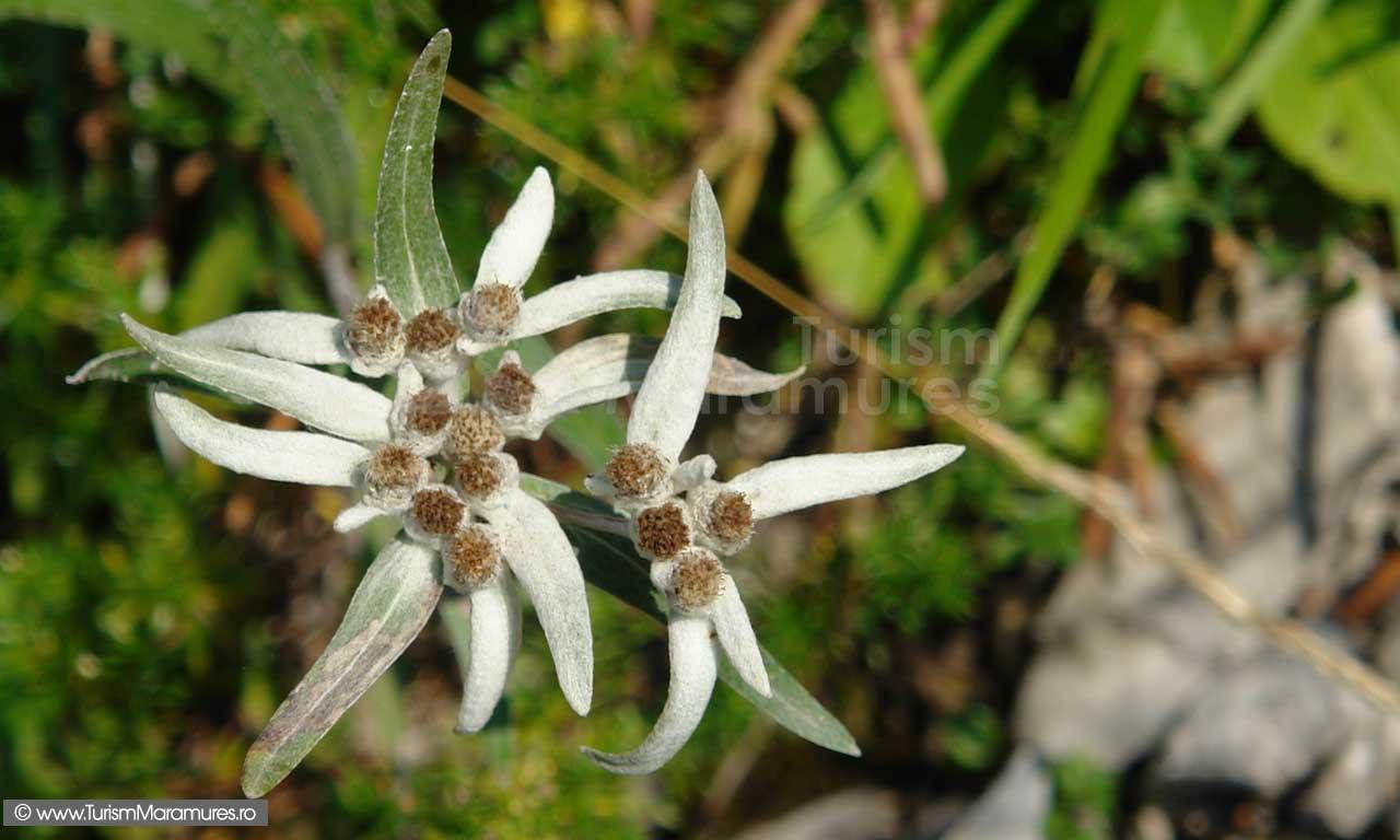 Floare de colt - Leontopodium alpinum