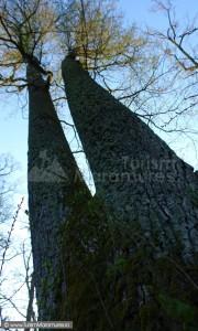 Stejar pedunculat - Quercus robur