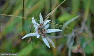 Floare de colt in Rezervatia Piatra Rea