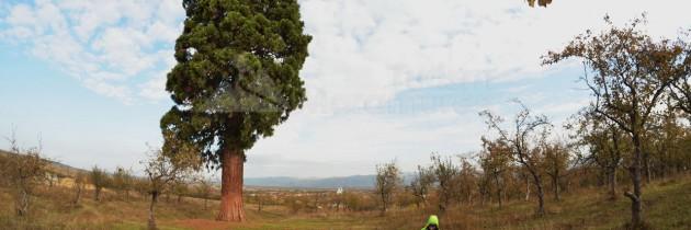 La arborele Sequoia din Ardusat