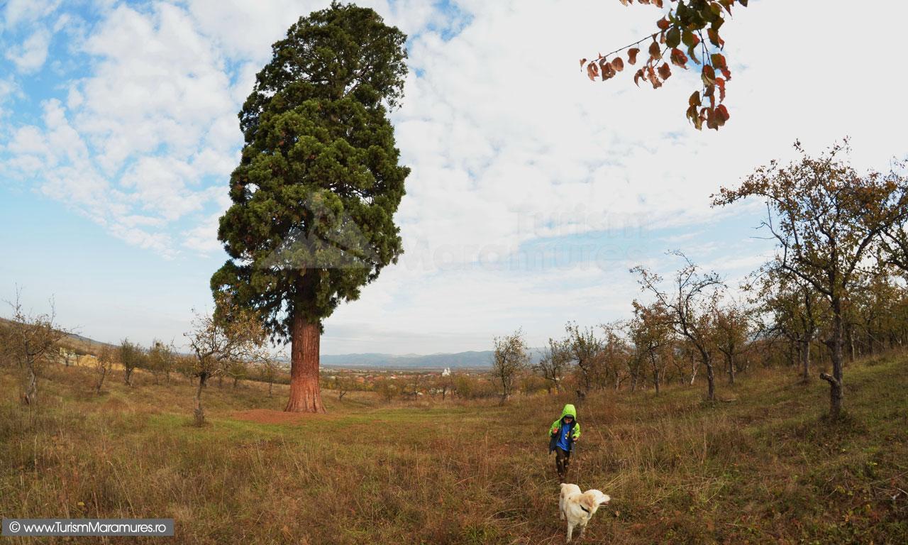 Sequoia gigantea din Ardusat, Maramures