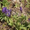 Irisi - Iris pumila