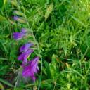În fânețele cu gladiole sălbatice de sub vârful Ostra