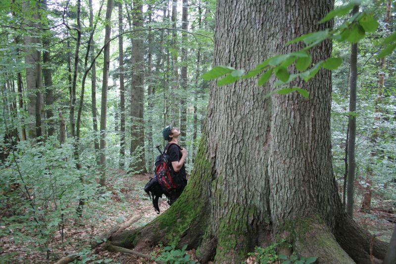 Pădure seculară Strâmbu Băiuț - păduri virgine Maramureș