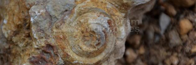 Buteasa: Dealul Urișului – cariera Sub Piatră – dealul Toporu, după fosile